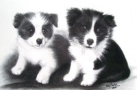 Border Collie Pups - Charcoal